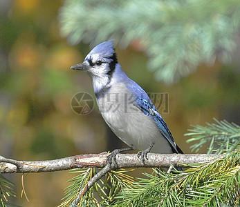 树枝上的小蓝鸟图片