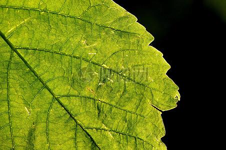 高清叶子的叶脉图片