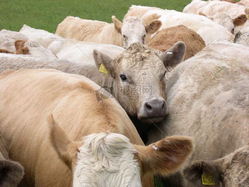 可爱的小牛