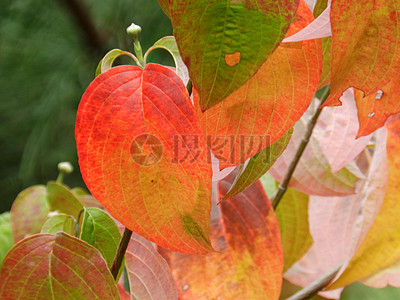红色叶子的叶脉图片