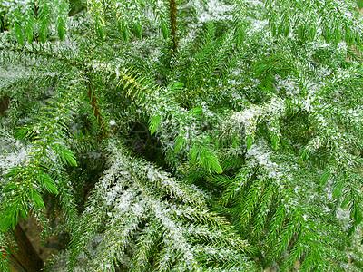 四季常青的树木图片