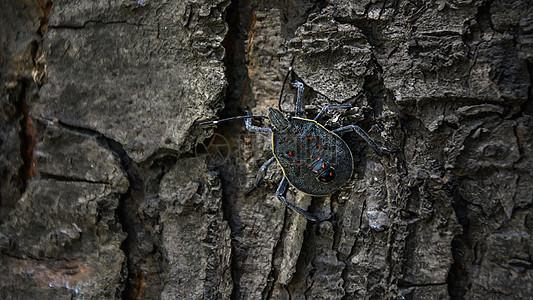 树皮上的臭虫图片
