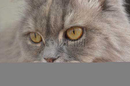 灰色的猫脸图片