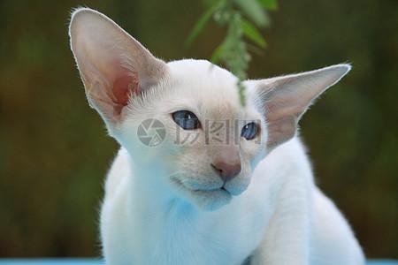 白色的长耳猫图片