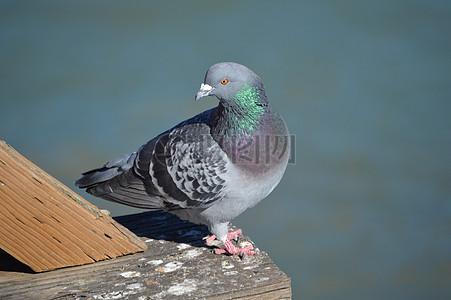 可爱的小鸽子图片