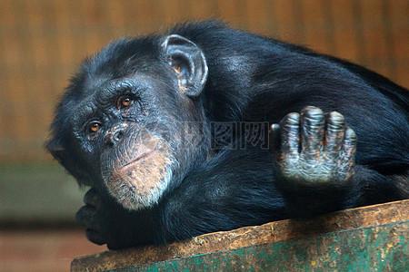 可爱的黑猩猩图片
