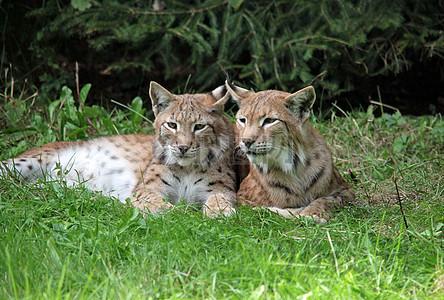 图片 > 【jpg】 可爱的野生猫科动物  分类: 格式:jpg 尺寸:3460*2338