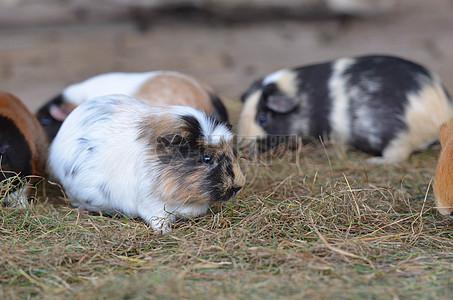 可爱的小胖猪图片