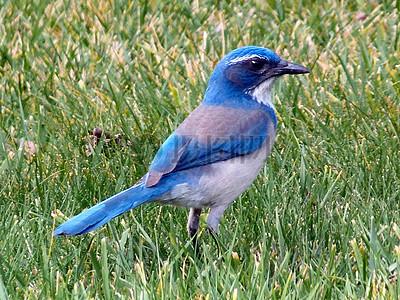 1蓝鸟图片