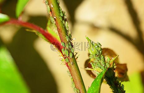 绿色花茎上的小虫子图片