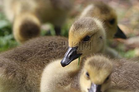 聚集起来玩耍的小鹅图片
