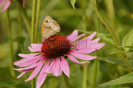 紫锥菊太阳帽花绽放图片