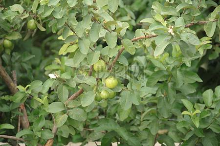 结果植物写真图片