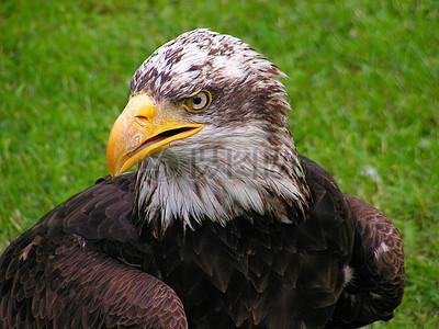 草地上的吗白头鹰图片