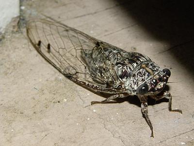 剃刀磨床蝉(henicopsaltria eydouxii)图片