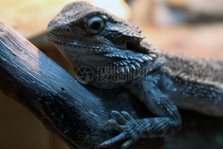 大胡子的鬣蜥4图片