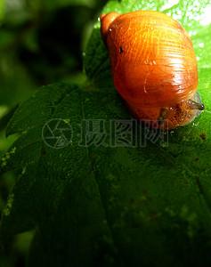 蜗牛在荨麻叶1图片