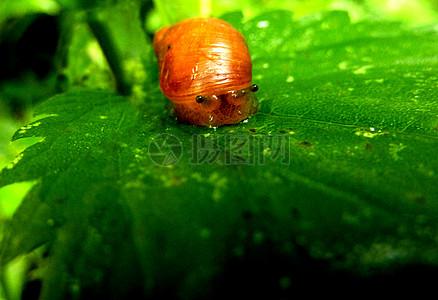 蜗牛在荨麻叶2图片