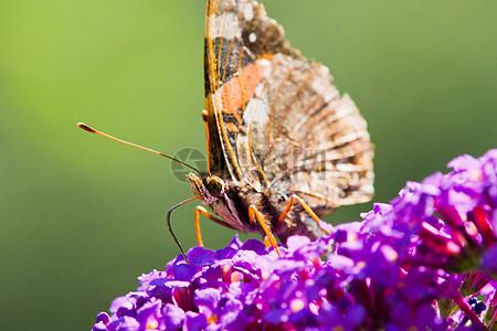 醉鱼草上的蝴蝶图片