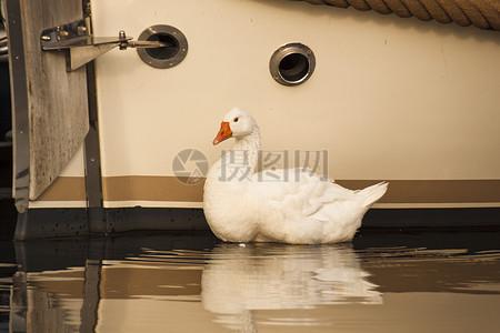 白色的大白鹅图片