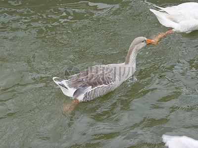 水中的野鸭子图片