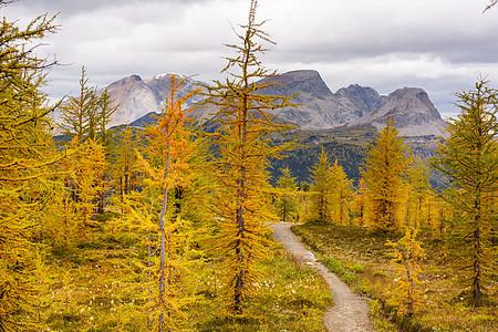 加大山区美丽的金色落叶松秋天的季节图片