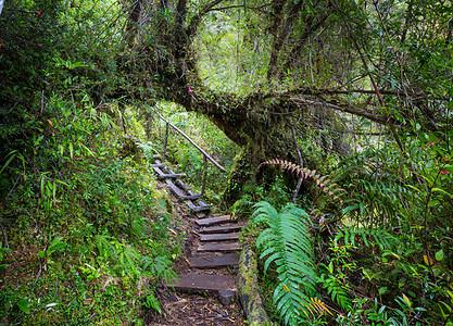 雨林中的巨树美丽的景观普马林公园,澳大利亚,智利图片