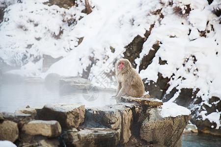 动物自然野生动物日本猕猴雪猴吉戈库达尼公园温泉日本猕猴雪猴温泉图片
