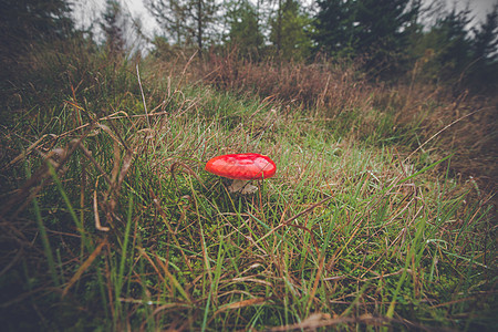 秋天,森林里的绿草中生长的番薯蘑菇图片