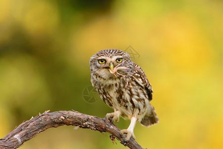 一只小猫头鹰图片