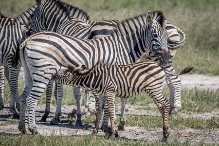 在博茨瓦纳乔贝公园他母亲的Zebra小牛排图片