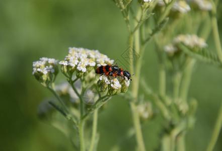 红甲虫在西蓝丁白氟化物上的配方图片