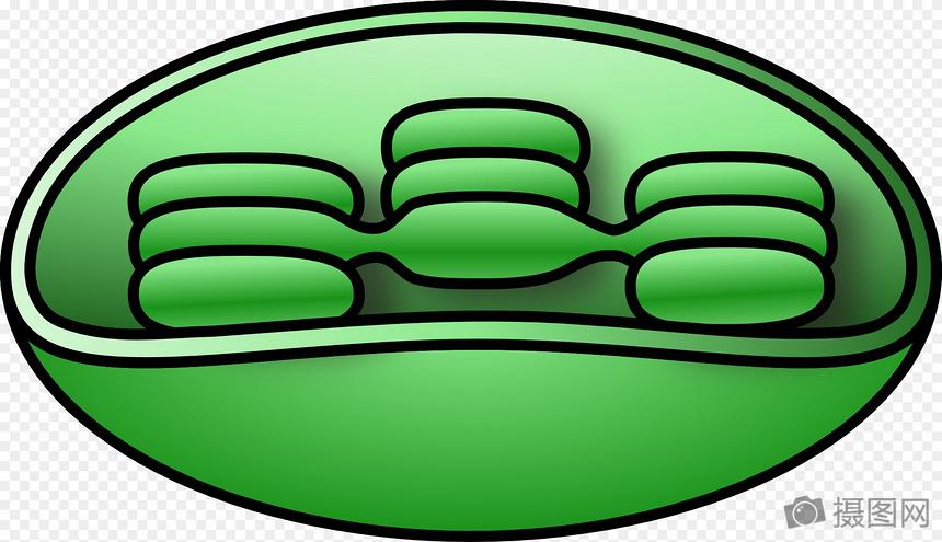 叶绿体关系图