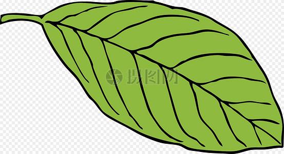 椭圆形的叶子图片