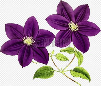 紫色紫藤花图片