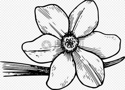 盛开的野花山茱萸图片