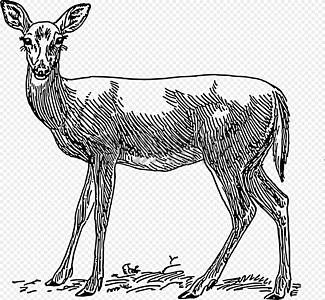 一只瘦弱的母鹿图片