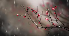 冬至大雪红梅插画图片