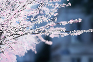 樱花盛开的季节插画图片