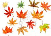 水彩手绘枫叶图片