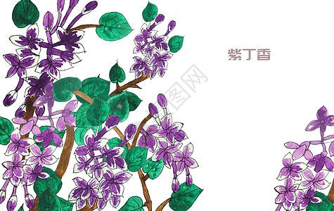 手绘水彩紫丁香花图片