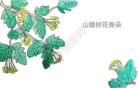 手绘水彩山楂树花骨朵图片