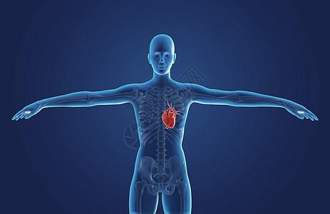 人体心脏图片