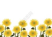 向日葵植物留白背景图图片