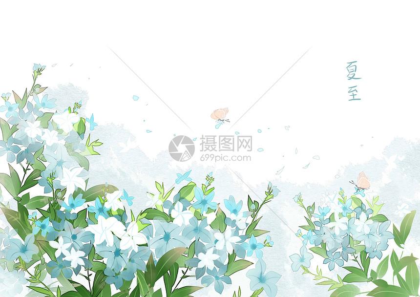夏至蓝花丹图片