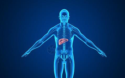 人体肝脏背景图片