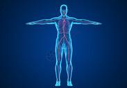 人体神经血管背景图片