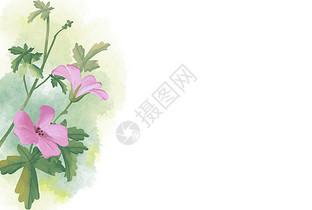 甘草老鹳草花图片