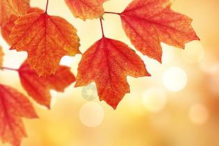 秋季枫叶图片