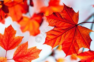 秋风红叶背景图片